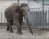 Курьез дня: в харьковском зоопарке слон бросался елками