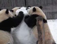 Смешно до слез: в США трое панд «замочили» снеговика