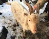 Романтик: россиянин украл козла, чтобы угодить бабушке своей пассии