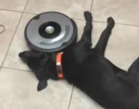 Сеть насмешило «сражение» робота-пылесоса и ленивой собаки