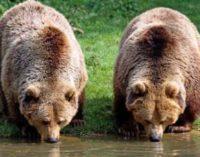 Забавная ссора медведей попала в объектив камеры