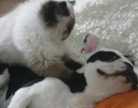 Минутка доброты: кошка устроила собаке сеанс массажа
