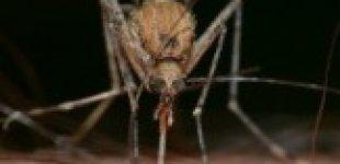 Могутли комары передовать коронавирус?